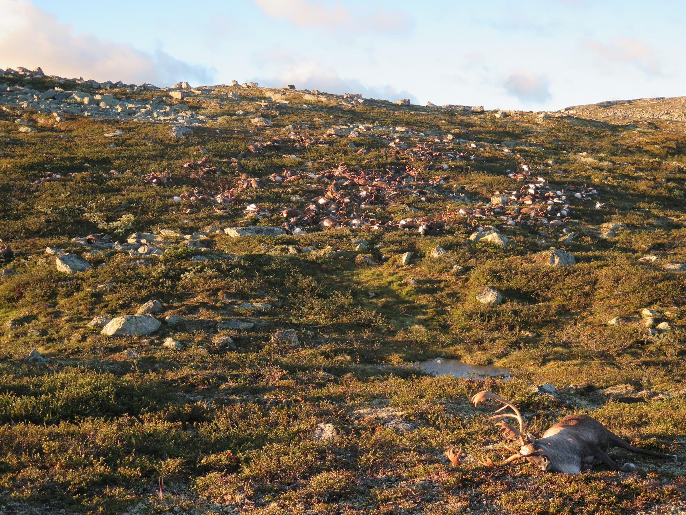 Over 300 reindeer killed by lightning strike in Norway